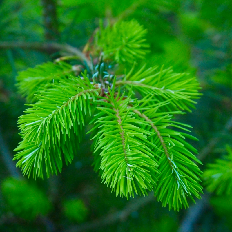 New green needles of Doug-fir tree