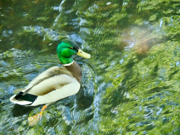 Male Mallard Duck in Creek