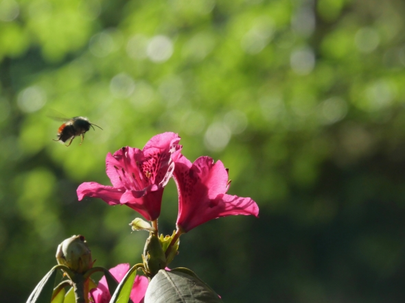 Bumblebee flying above pink rhododendron flowers
