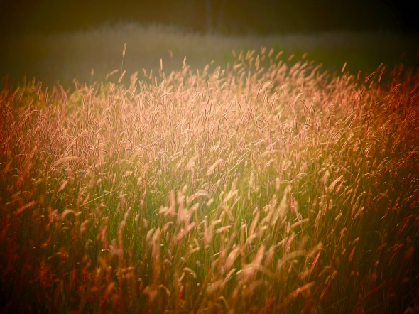 Shining golden grasses