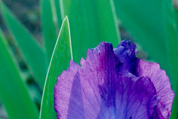 Purple iris bloom