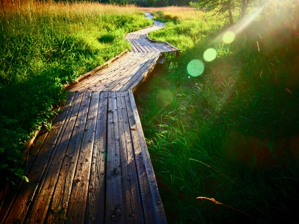 Boardwalk through green marsh grasses