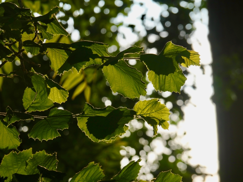 Backlit green hazel leaves