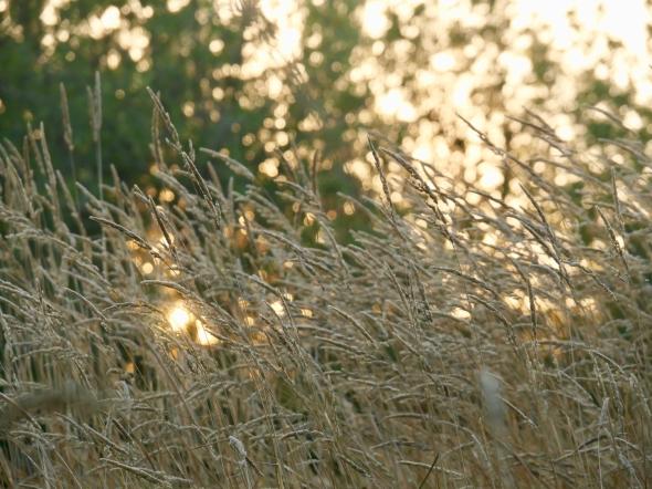 Setting sun viewed through long grasses