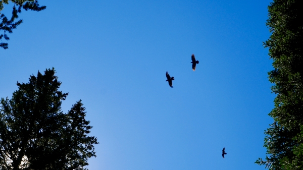 Three ravens flying in coniferous forest