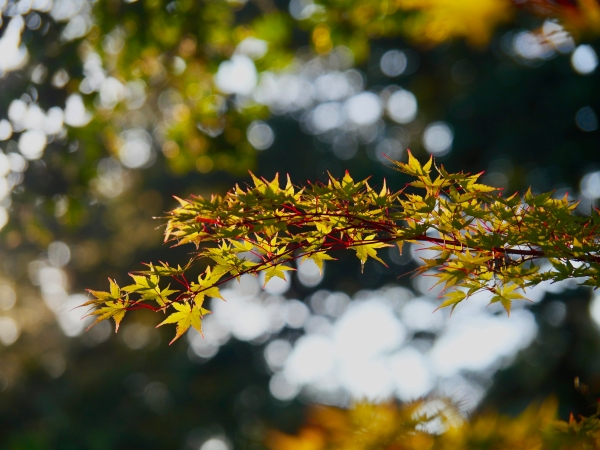 Maple leaves backlit bysun