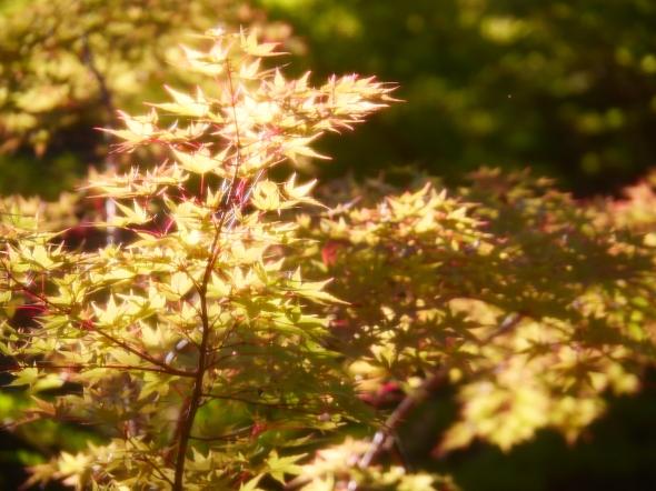 Golden Japanese maple leaves in bright sunlight