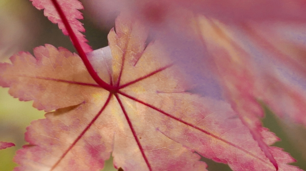 Pink-tinged yellow Japanese maple leaves