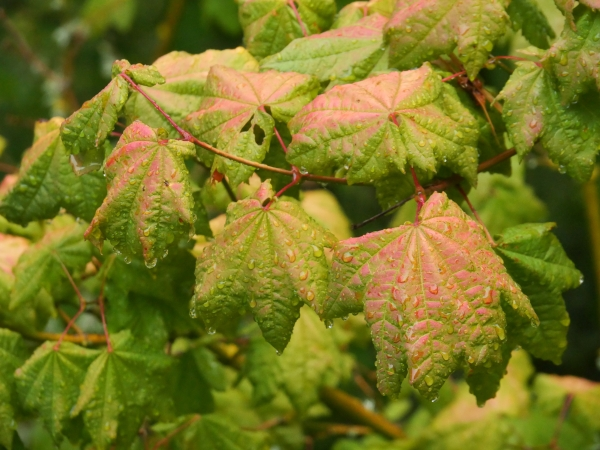 Raindrops on green and pink maple leaves
