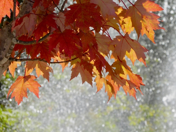 OranMaple leaves and sunlit spray of water in background