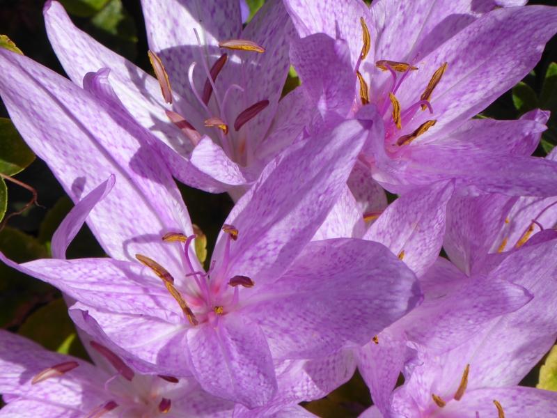 Pastel crocus flowers