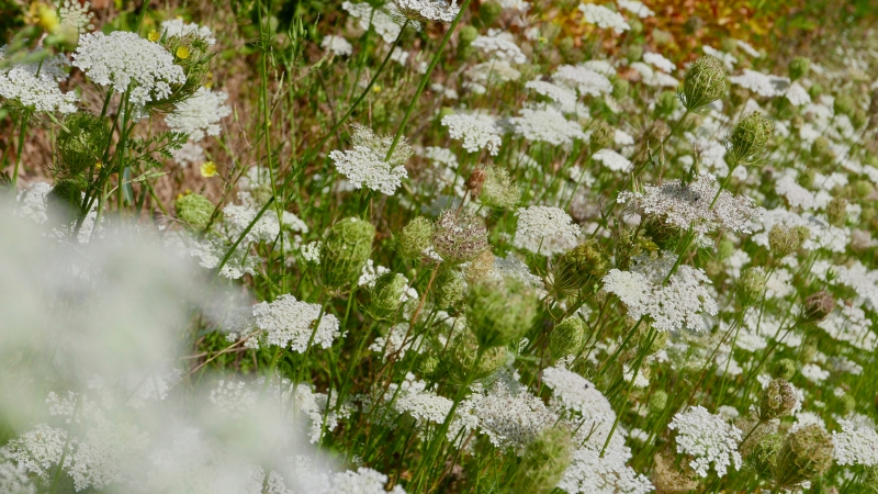 Many white flowers