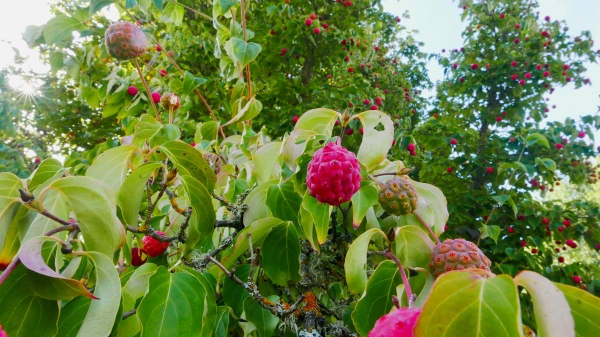 Kousa dogwood leaves and fruit