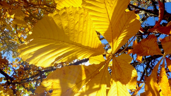 Yellow horse chestnut leaves and blue sky