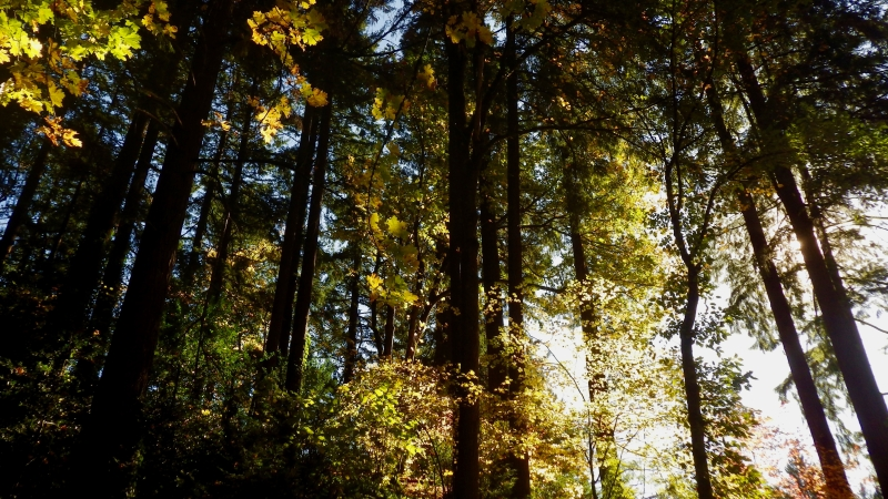 Autumn foliage in forest of large trees