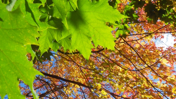 Green and orange mapleleaves and sky