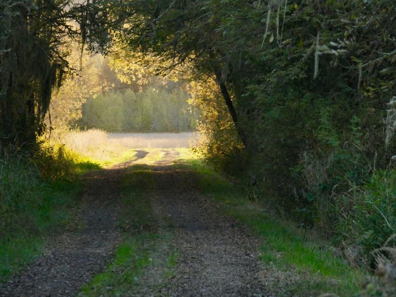 Wooded road leading toward golden field