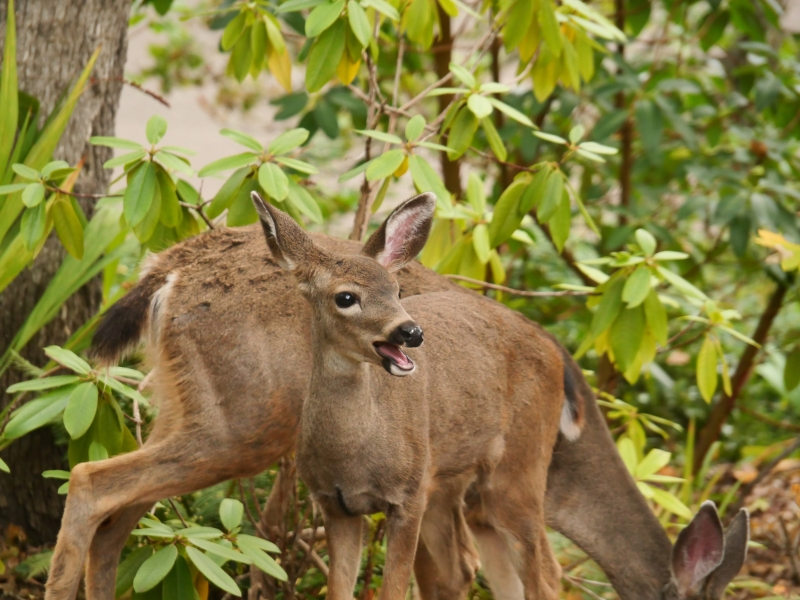 Young Deer with Open Mouth