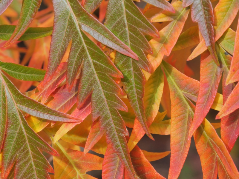 Green, yellow, orange and red sumac leaves