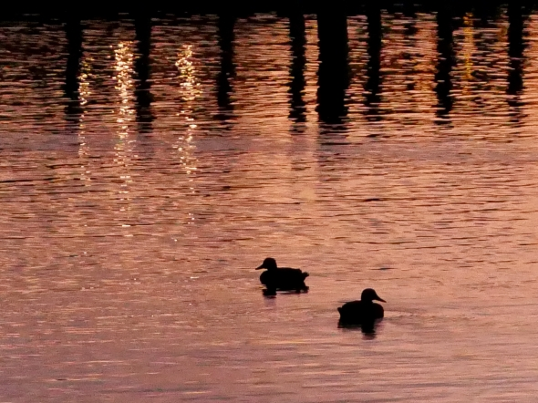 Two ducks floating and docks reflected in water