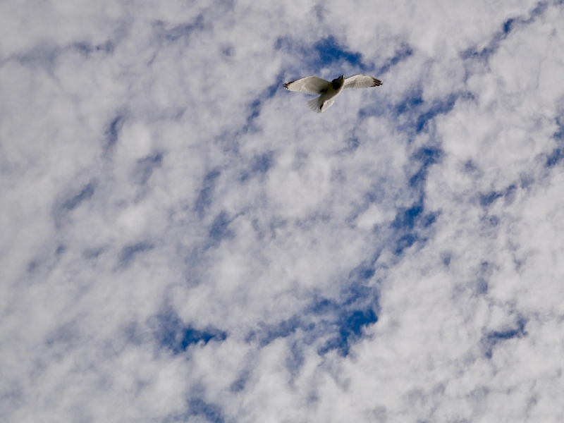 Gull flying against blue and white sky