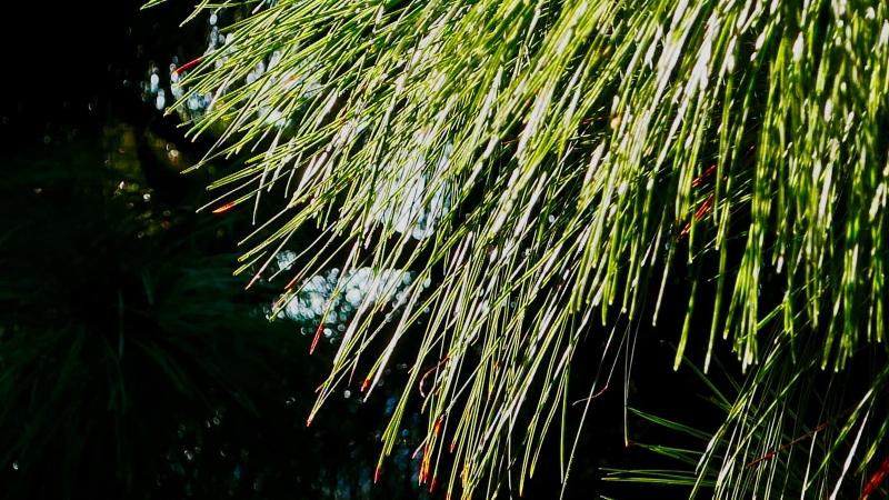 Pine Needles in Sunlight