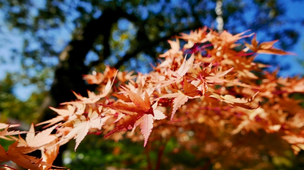 Golden maple leaves and blue sky
