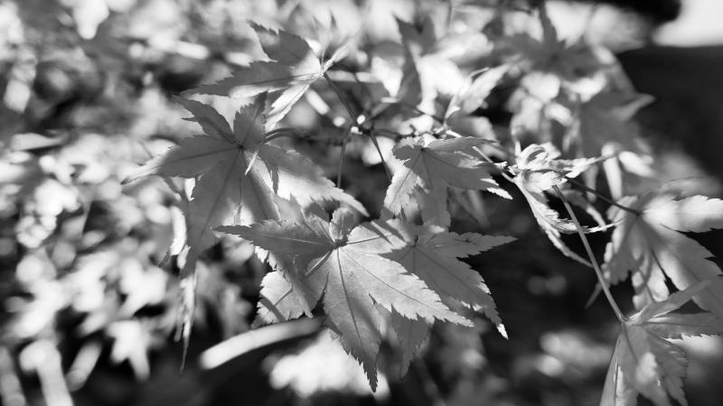 Black & white Japanese maple leaves