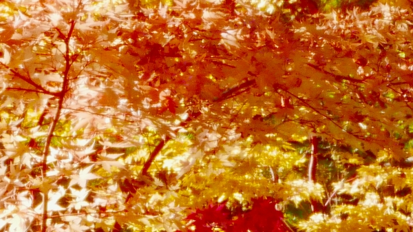 Red-orange-yellow maple leaves