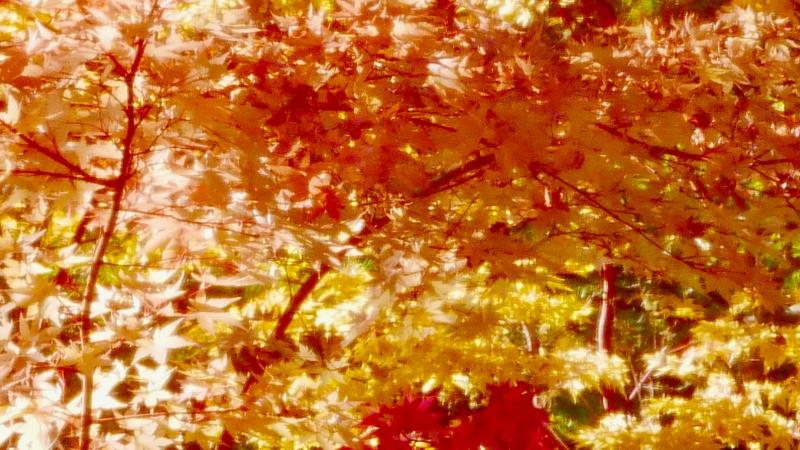 Red-orange-yellow maple leaves