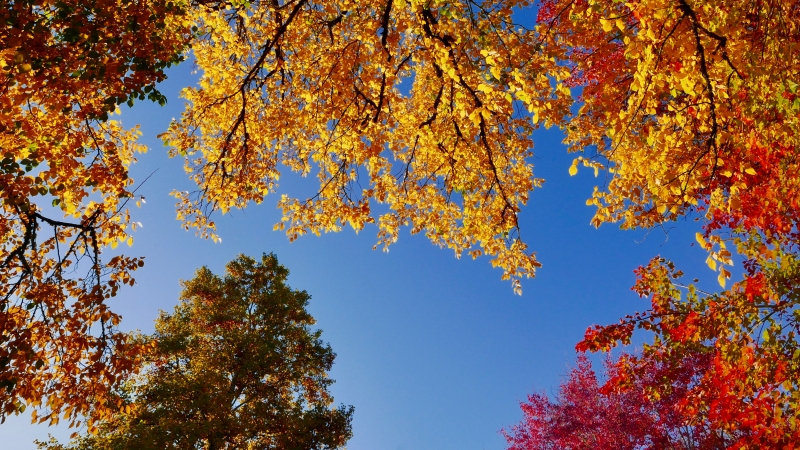 Blue sky and colorful foliage of maples, elms and conifers