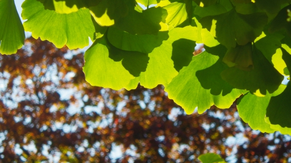 Green and yellow fan-shaped leaves