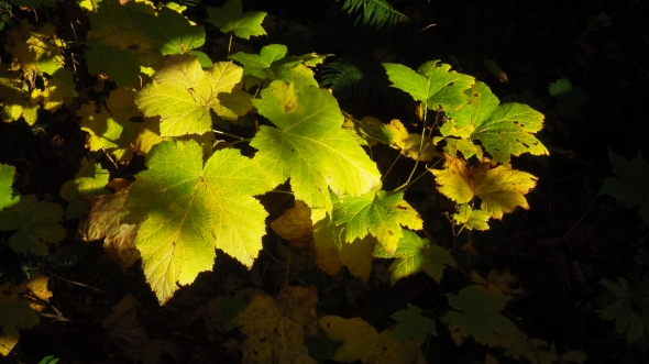 Green and yellow thimbleberry leaves