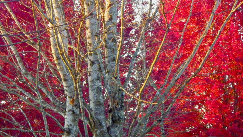 Bare branches and bright red maple leaves
