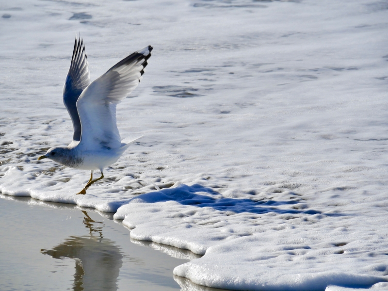 Gull taking off at edge of surf