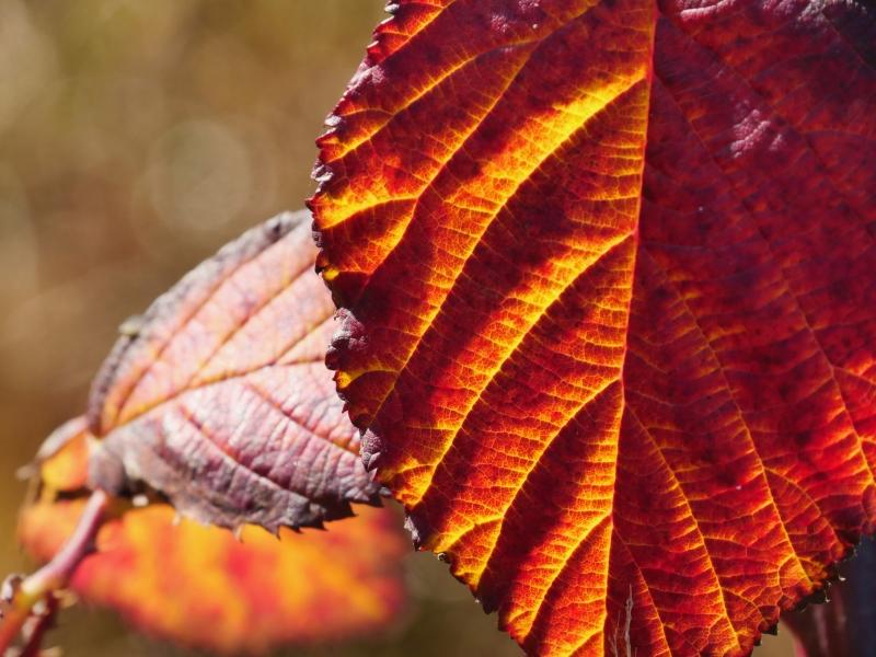 Orange blackberry leaf