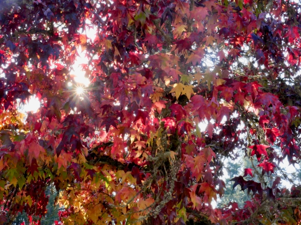 Maroon, red, yellow and green star-sahped leaves and sunburst