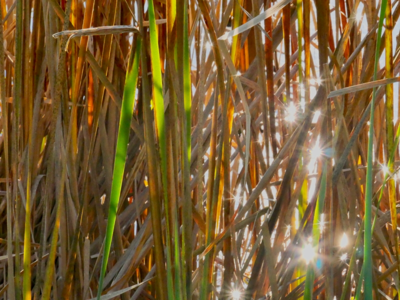 Cattail marsh with sunbursts reflected from water