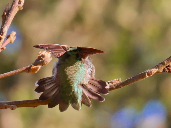 Hummingbird with wings up and tail spread