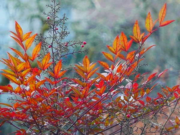 Orange leaves and red berries