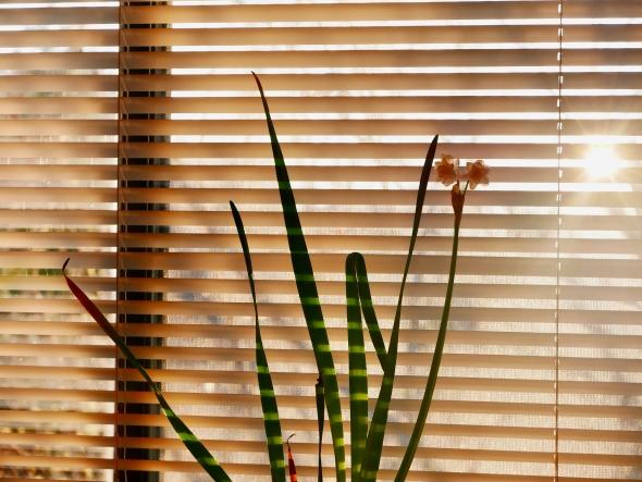 Paperwhites and sun shining through window