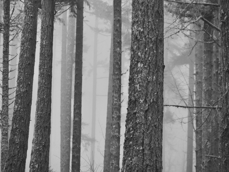 Big trees in foggy forest