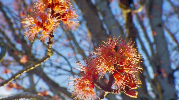 Red maple blossoms