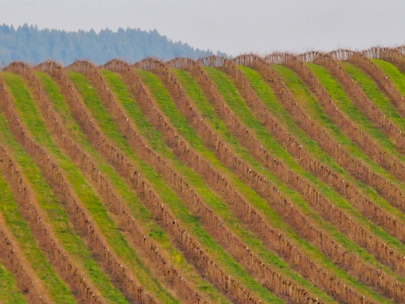 Rows of grapevines on rolling hill