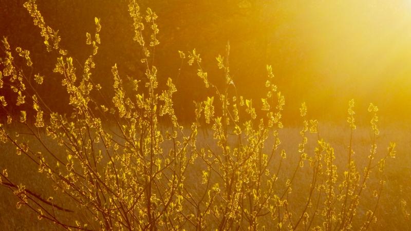 Golden field at sunset