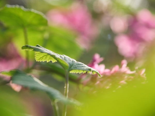 Red-flowering currant leaves and pink blossoms
