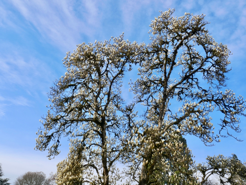 Magnolia tree with large white blooms and blue sky