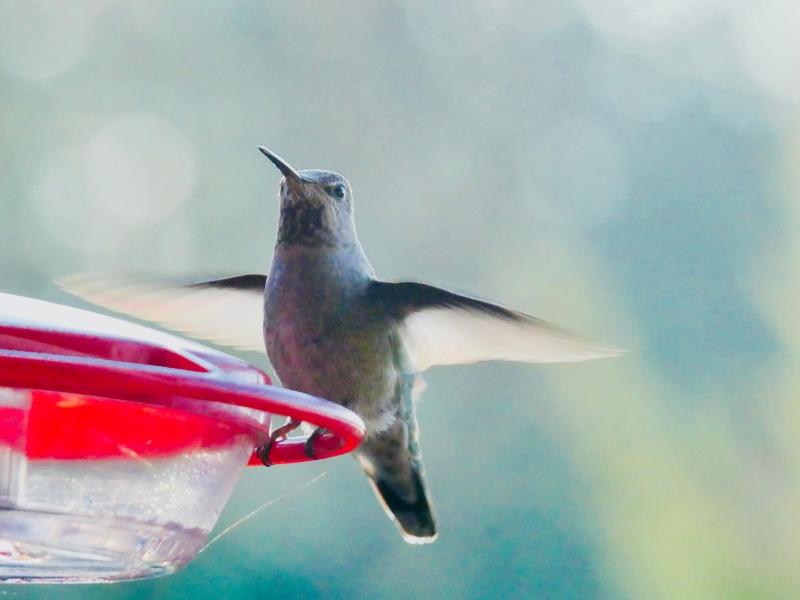 Hummingbird flapping at feeder