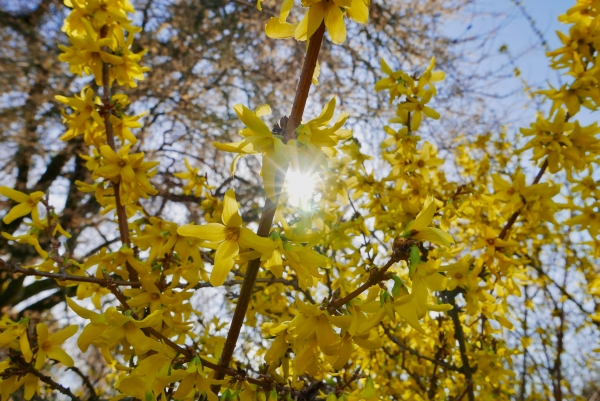 Sun shining through yellow forsythia blooms