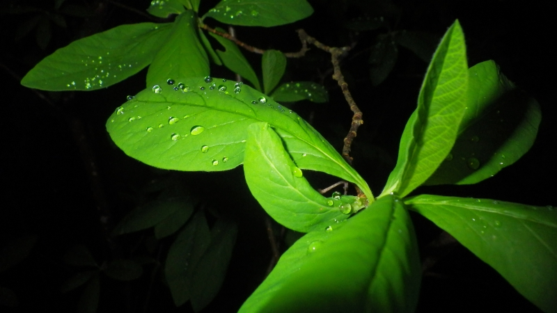 Green leaves and raindrops at night